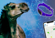 Camellos usan collares IoT - IOTA HIspano